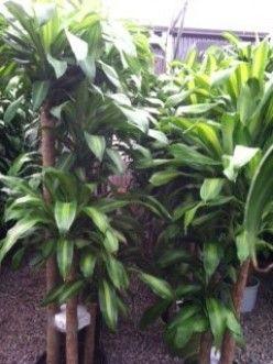 Caring for Dracaena Mass Cane; Corn Plant, Massangeana