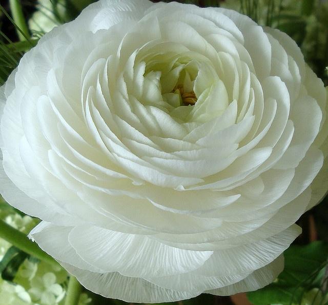 Witte Ranonkel. Voor in bruidsboeket
