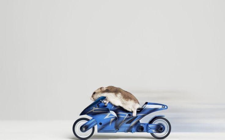 Cute Hamster Wallpapers   1024×768 Cute Hamster Wallpapers (44 Wallpapers) | Adorable Wallpapers