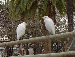 Zoobotanico Jerez :: GARCILLA BUEYERA