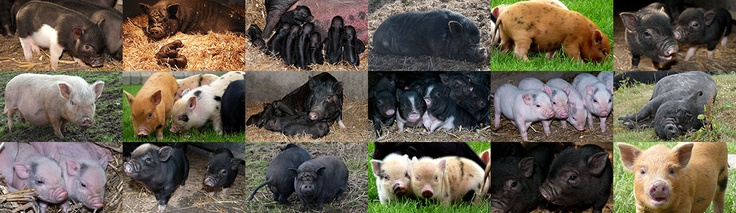 Collage of our pigs at various ages