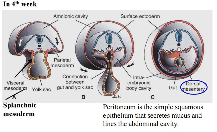 Image result for peritoneum formation