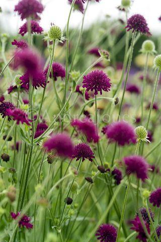 Knautia macedonica (Beemdkroon) tussen andere door laten groeien, langbloeiend, slappe steel