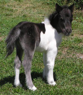 Miniature Horses - Black and white