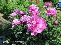 Pfingstrosen richtig pflanzen und pflegen