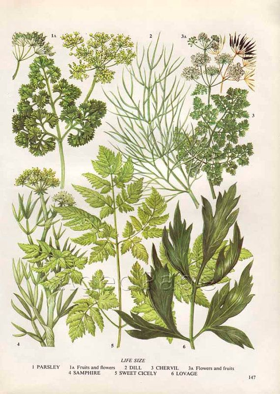 Vintage herb botanical print food plant chart art by agedpage home decor pinterest - Tips planting herbs lovage parsley dill ...