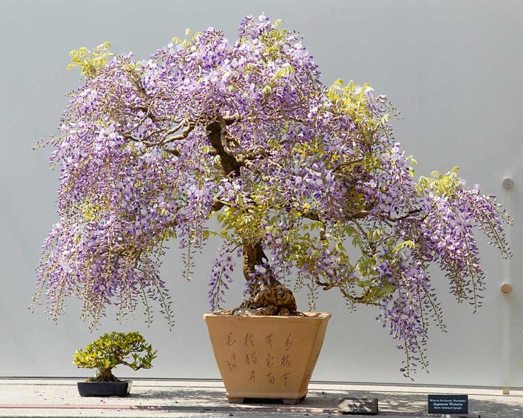 Japanese Wisteria Bonsai Tree  So freaking cool
