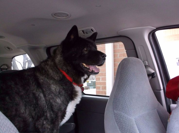 akita black personals Black tris, blue eyes available, tails docked, dewclaws removed, up to date  vaccinations, health guararead more core/files/spokane/ad_rotator/stockland.