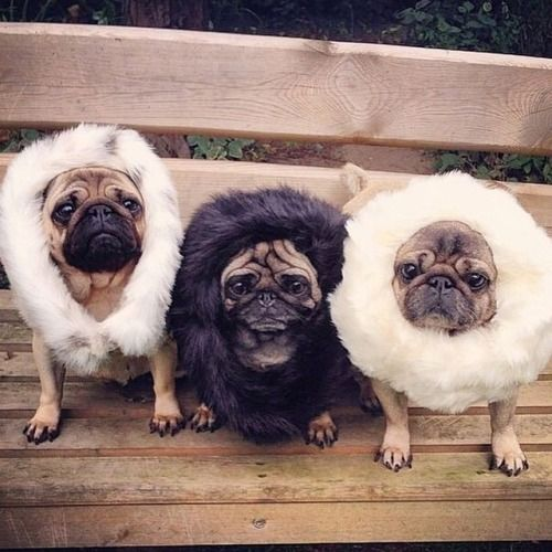 362 best images about Pug Pictures on Pinterest