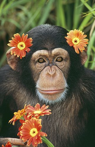 Fun Chimpanzee Facts www.world-of-wildlife.blogspot.com/2014/10/chimpanzee-facts.html