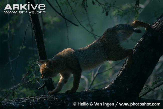 Jungle cat in tree at night