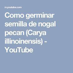 Como germinar semilla de nogal pecan (Carya illinoinensis) - YouTube