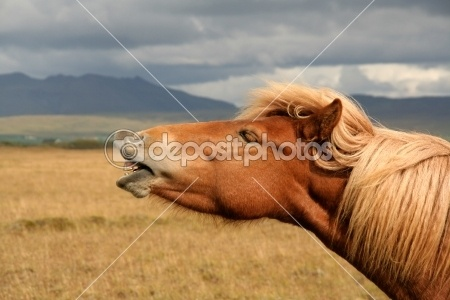 Icelandic horse by Claudia Fernandes - Foto Stock