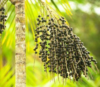 Acaiberry - amazonské ovocie nadupané živinami, je prospešné pri celom zástupe zdravotných problémov. Okrem liečenia napomáha aj pri snahe schudnúť, vďaka čomu jeho popularita neustále rastie. Acai...