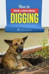 The Guide on How to Stop a Dog from Digging (with explainer video). There are a number of unwanted behaviors that your dog may exhibit, and digging ma…