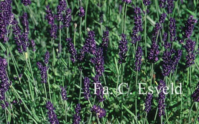 Lavandula angustifolia 'Hidcote' - gewone lavendel