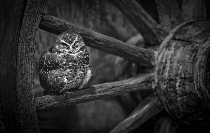 Owl on wheel