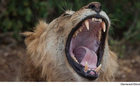 A Lion Roars For Thandi.