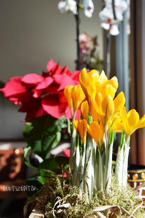 Jön a tavasz, nyílik a sáfrány. Edényben is nevelhető a hagymagumós dísznövény   Életszépítők