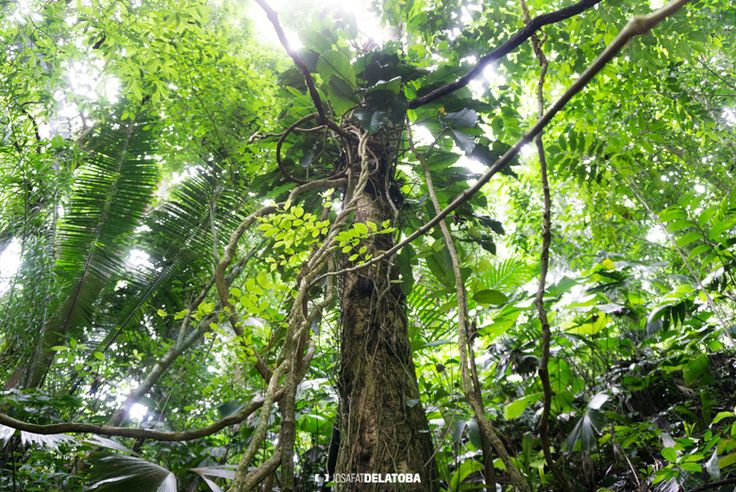 A big tree #josafatdelatoba #cabophotographer #travels #guatemala # #landscapephotography #tree #sietealtares