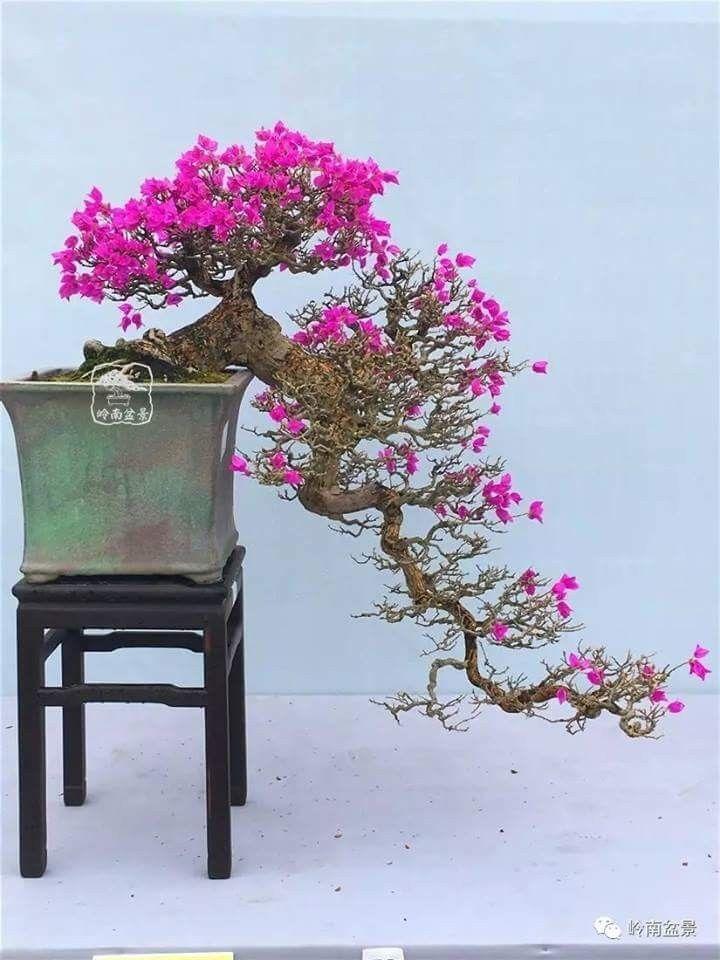 বনস ই ক গজ ফ ল র ব গ নভ ল য Bonsai Tree Bougainvillea Bonsai Bonsai Tree Types
