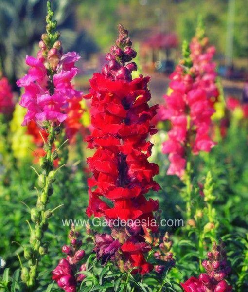 Gardenesia - BEAUTIFUL  ANTIRRHINUM DOG  #FLOWER SEMI TALL MIX