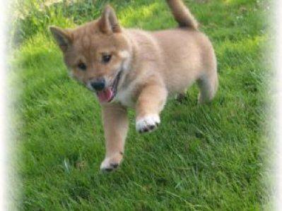 Show Quality Shiba Inu for Sale | Shiba Inu puppies for sale 1000sADS