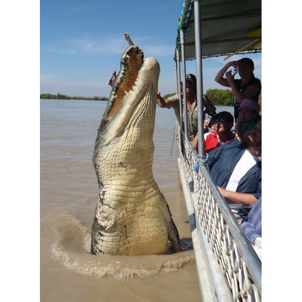 Meet Brutus. The huge (5.5m) saltwater crocodile, which is missing its right front leg, is a favourite with tourists on the Adelaide River Cruises, because he loves his meal of buffalo meat and always puts on a good show for it.