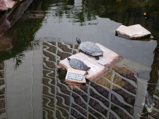 Turtles at the Flamingo Wildlife Habitat (with the Flamingo Hotel in the reflection of the water)