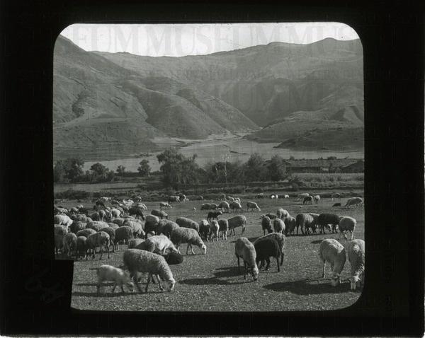 Sheep raising among the Andes near Cuzco, Peru | saskhistoryonline.ca