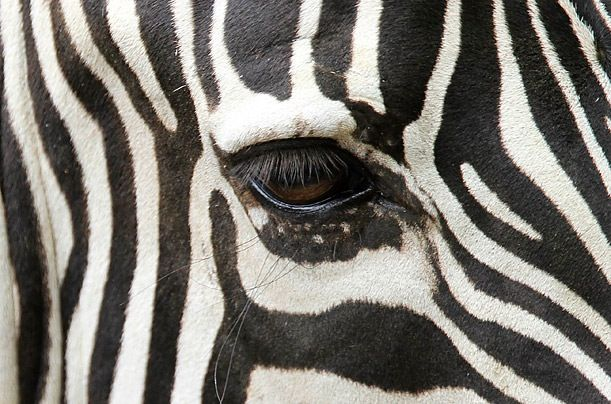 Thema jungle / oerwoud: zebra oog