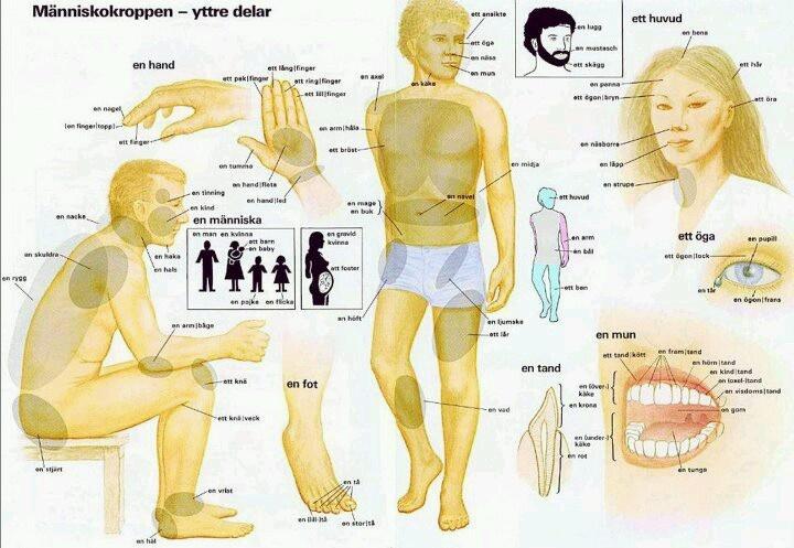 Människokroppen