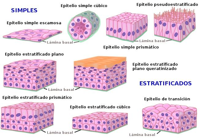 Clasificación tejido epitelial