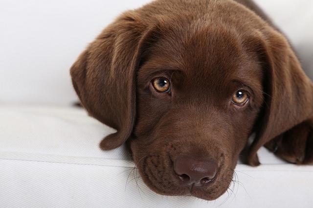 44 Best Choc Lab Images On Pinterest Chocolate Labradors