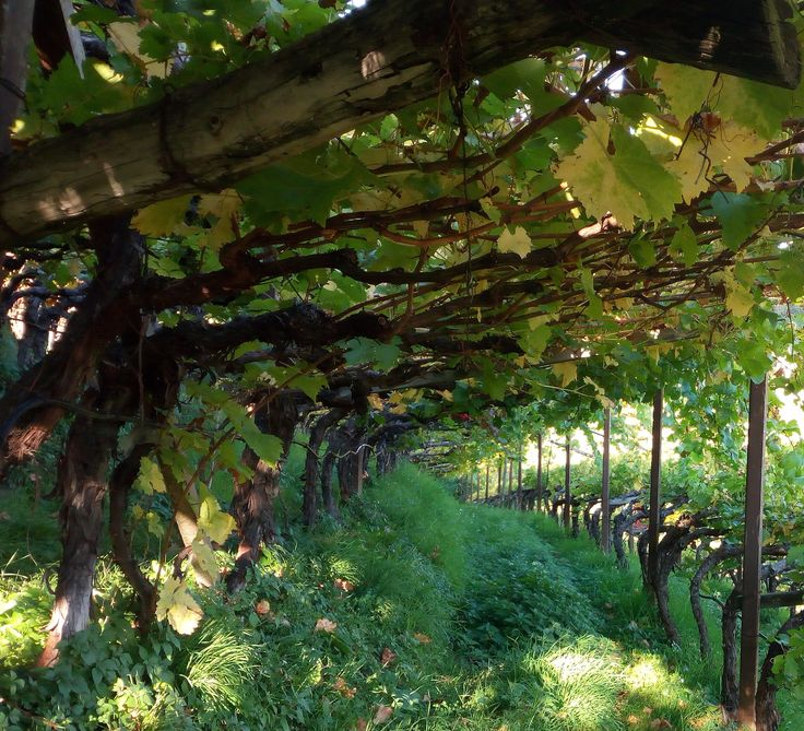 The pergola - the traditional cultivation system for Schiava wines - seen at the Kristplonerhof estate (www.rottensteiner-weine.com)