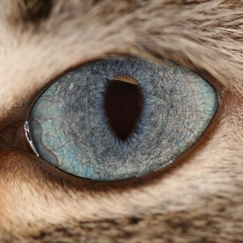 Lynx Point Siamese Eye by Lynette S., via Flickr
