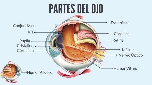 Anatomia Del Ojo Humano Partes Y Funciones Resumen Imagenes Anatomia Del Ojo Anatomia Ojos Ojo Humano