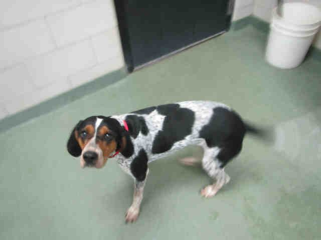 Meet ELVIRA, an adoptable English Coonhound looking for a forever home. If you're looking for a new pet to adopt or want information on how to get involved with adoptable pets, Petfinder.com is a great resource.