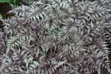 Japanese Painted Fern: Learn How To Grow A Japanese Painted Fern
