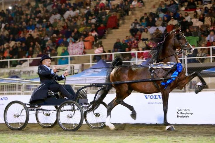 "Saddle Horses SA on Twitter: ""2016 SA Grand Champion Fine Harness – ""Magic-Model Highland Joe"" – shown by Paul Tau. (Photo Elpita Photography). https://t.co/SReGxEZrSE"""