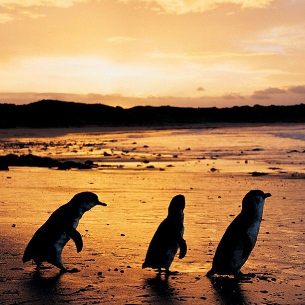 Phillip Island: 17 Best Images About Penguin Parade On Phillip Island