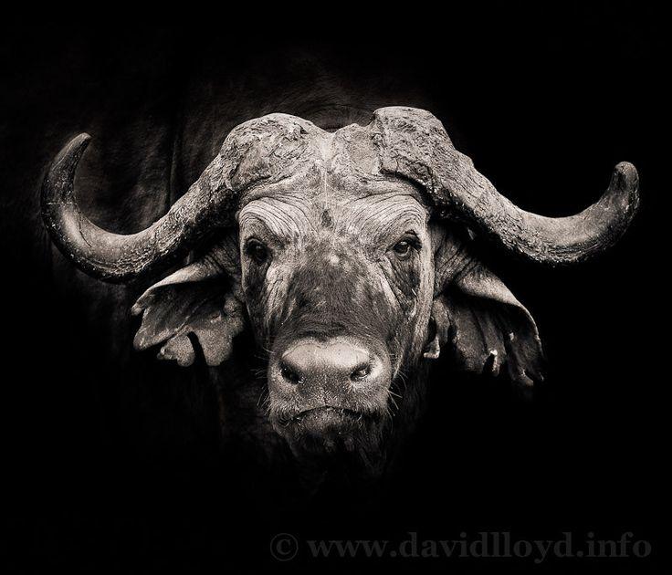 """""""African Buffalo"""" by David Lloyd, via 500px."""