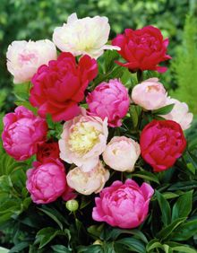 I just got mix peony bulbs for our garden