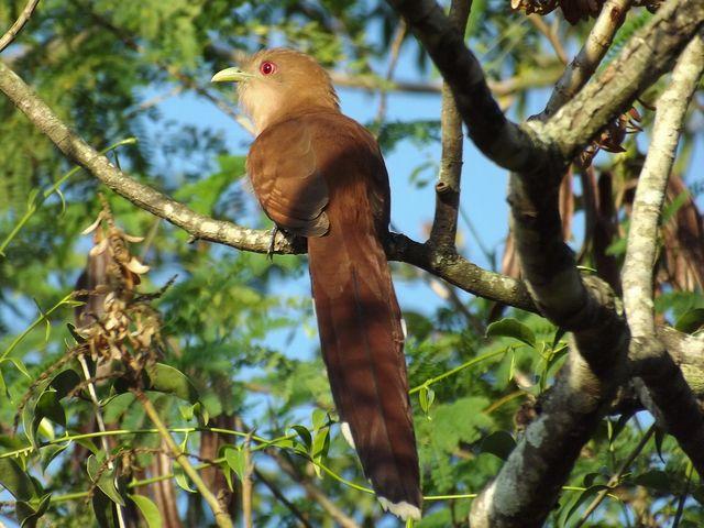 Foto alma-de-gato (Piaya cayana) por Henrique Junior | Wiki Aves - A Enciclopédia das Aves do Brasil