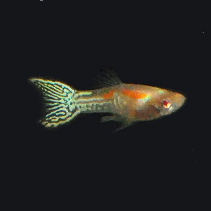 ... Freshwater Fish on Pinterest Cichlids, Rainbows and The aquarium