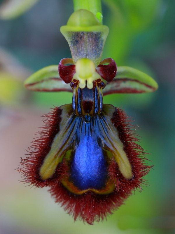Bee-Orchid - Ophrys - This flower looks really like a bug!  Weird.