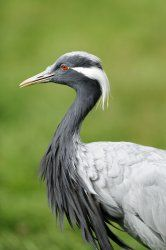 Marie Antoinette coined the name Demoiselle Crane. When the birds were first brought into France, she felt they looked like 'damsels' or 'pretty maidens' because of their delicate elegance.