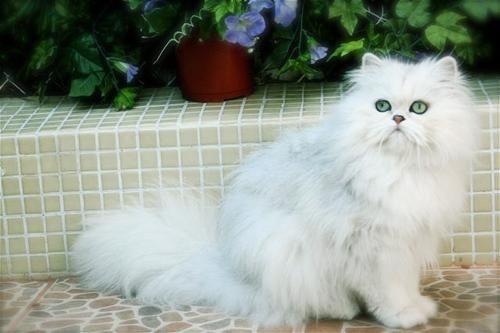 Descubre la raza de gato persa chinchilla