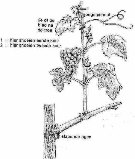 duidelijke uitleg over het snoeien van druiven!!