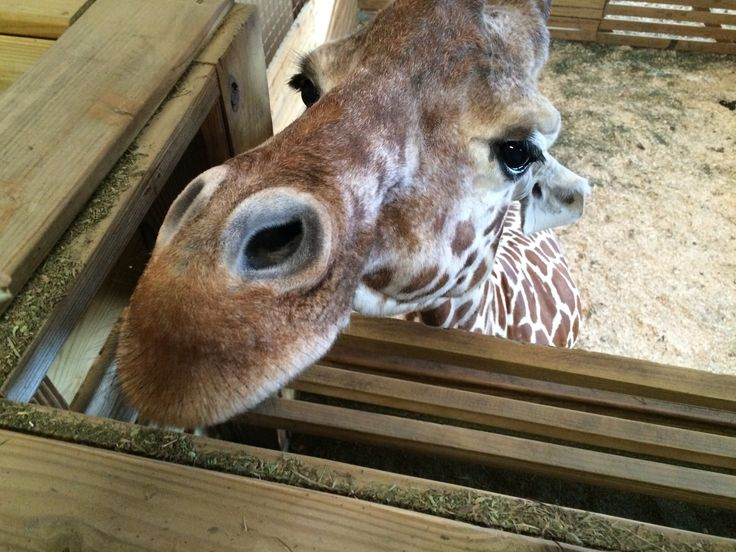 LIVE BIRTH Animal Adventure Park Giraffe Cam